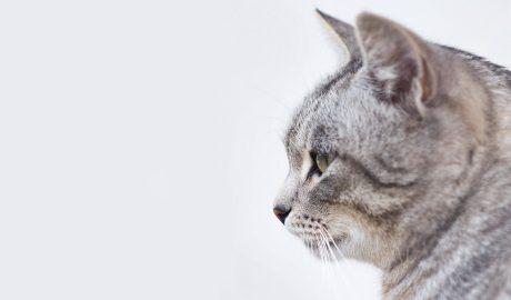 gato cinzento de perfil